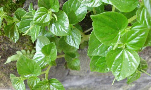 Herba Suruhan sebagai Obat bagi Penderita Hipertensi